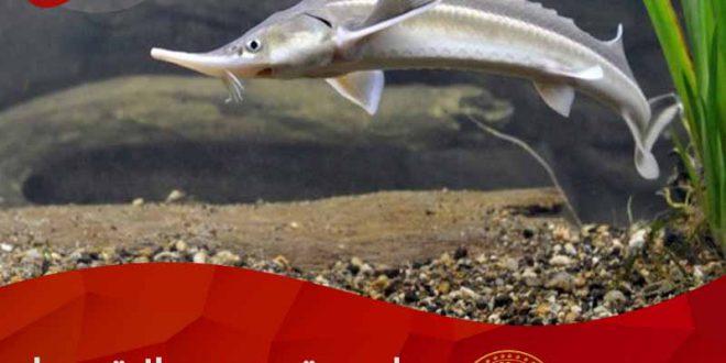 صادرات ماهی خاویاری پرورشی